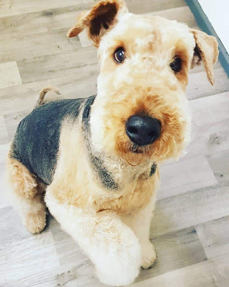 Airedale groom