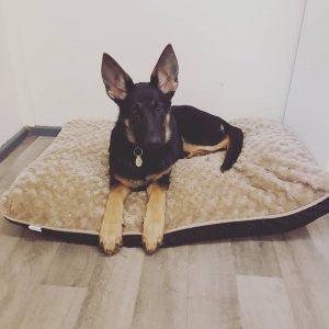 German Shepherd Puppy on a bed