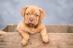 Dog de Bordeaux puppu